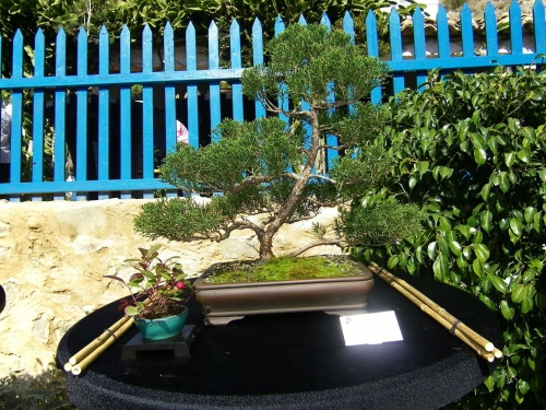 Bonsai Junipero Rastrero - Bonsai Oriol