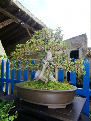 Bonsai Azalea - Bonsai Oriol