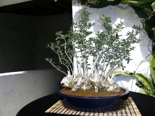 Bonsai Olivo de Moyogui Bonsai - Bonsai Oriol