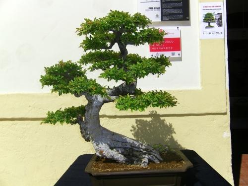 Bonsai 11809 - Bonsai Oriol