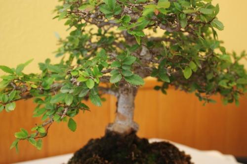 Bonsai Ulmus parvifolia - CBALICANTE
