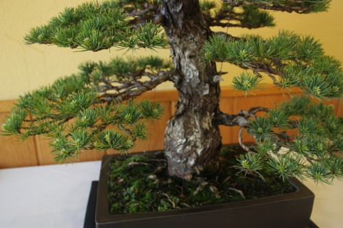 Bonsai Detalle Nebari - Pino ( Pinus Parviflora ) - CBALICANTE