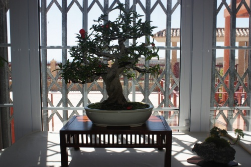 Bonsai Granado de Angel González - Foto de mala calidad - CBALICANTE