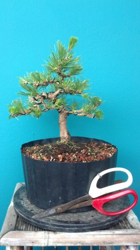 Bonsai Black pine - junny