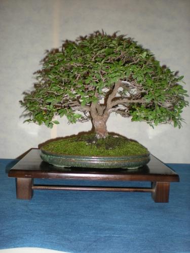 Bonsai 12233 - SAKKA KYOOKAI