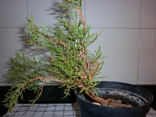 Bonsai Junipero sabina - tito satorre rodriguez