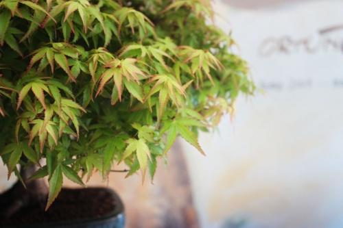 Bonsai Hojas de bonsai de Arce - torrevejense