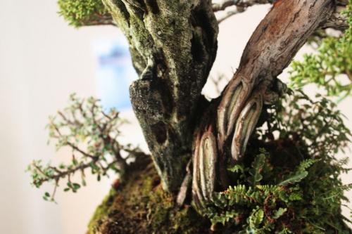 Bonsai Detalle del tronco de junipero sobre roca - torrevejense