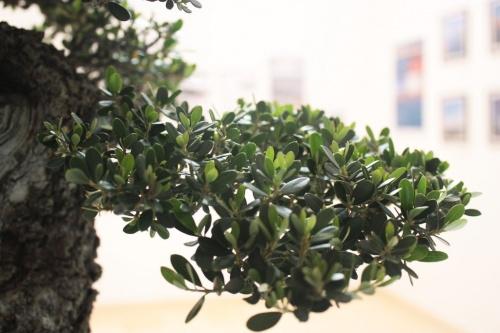 Bonsai Rama de olivo - Hojas pequeñas de olivo Bonsai - torrevejense