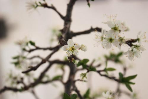 Bonsai Flores de Bonsai de Endrino - torrevejense