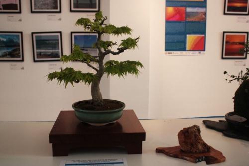 Bonsai Acer Palmatum Kiyohime Bonsai  - torrevejense