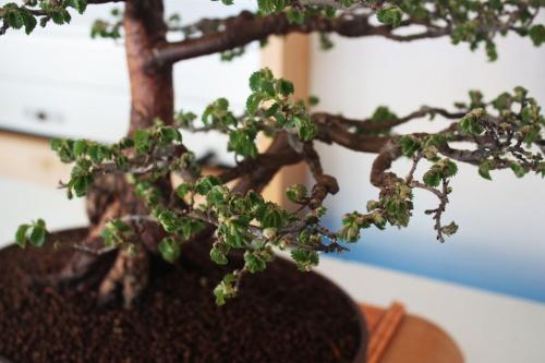 Bonsai Olmo Chino Bonsai - Detalle de ramas - torrevejense