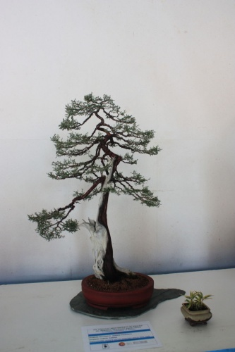Bonsai Sabina Phoenica Bonsai  - torrevejense
