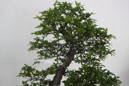 Bonsai Olmo Chino Bonsai - Detalle de la copa - torrevejense