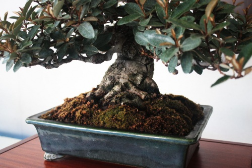 Bonsai Eleagno Bonsai - Maceta y Tronco en Detalle - torrevejense