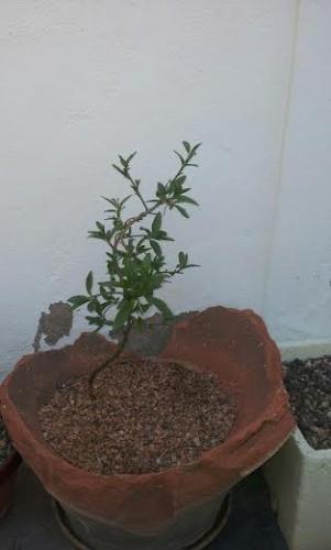 Bonsai 12605 - SARRUT