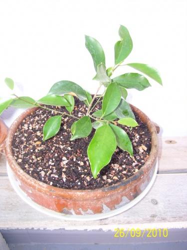 Bonsai Ficus de esqueje 2010 - SARRUT