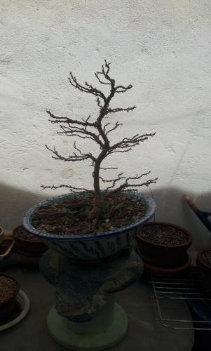 Bonsai Ficus defoliado y alambrado - SARRUT