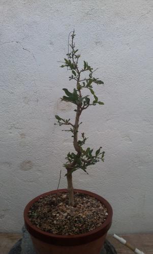 Bonsai 12777 - SARRUT