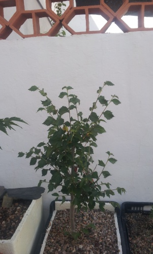 Bonsai 12789 - SARRUT