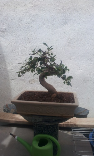 Bonsai 12813 - SARRUT
