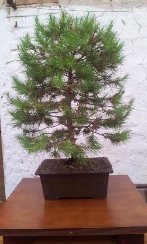 Bonsai pino silvesttre - javel