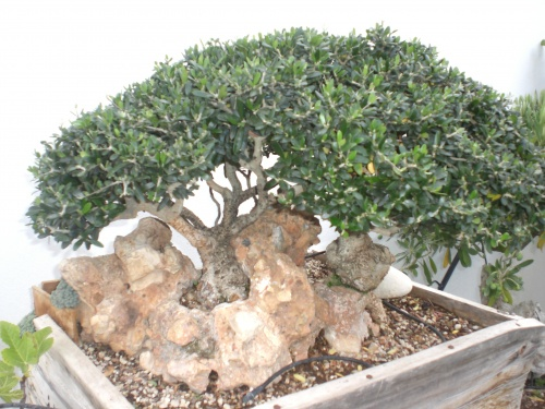 Bonsai 12861 - vicente solbes