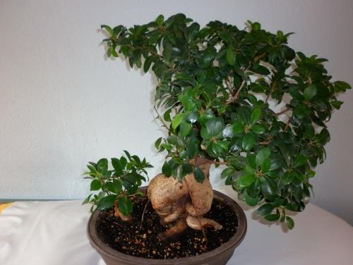 Bonsai Ficus ginseng I 2014 - tito satorre rodriguez