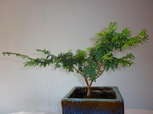 Bonsai Tejo = Taxus baccata = 2014 - tito satorre rodriguez