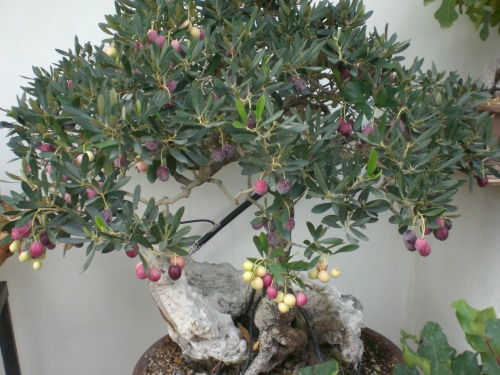 Bonsai 12913 - vicente solbes