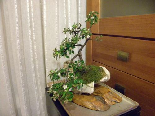 Bonsai Cotoneaster - Mera