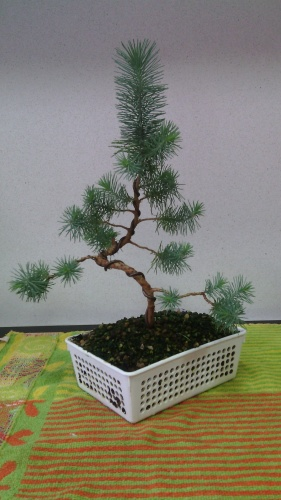 Bonsai Alambrado pino - jaudetb