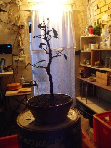 Bonsai Trasplante ficus 2016 - SARRUT