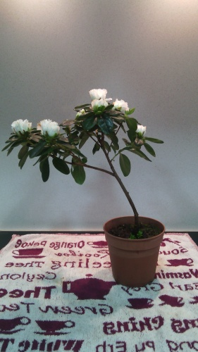 Bonsai 13341 - jaudetb