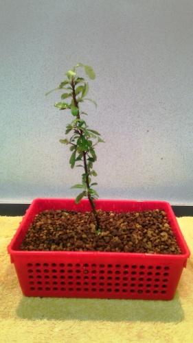 Bonsai Trasplante piracanta - jaudetb