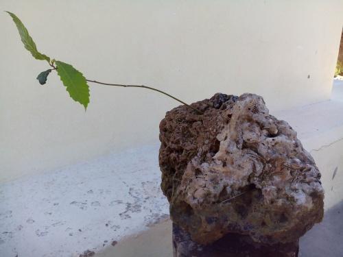 Bonsai Castaño (castanea sativa) 3 añitos. - Fernando ballester martinez
