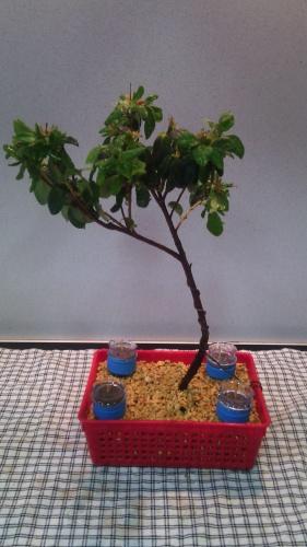 Abonado de azalea