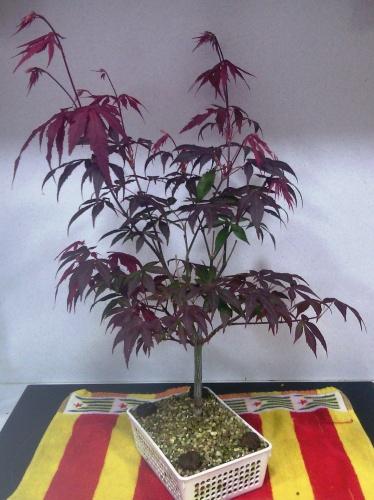 Bonsai Abonado de arce palmatum - jaudetb