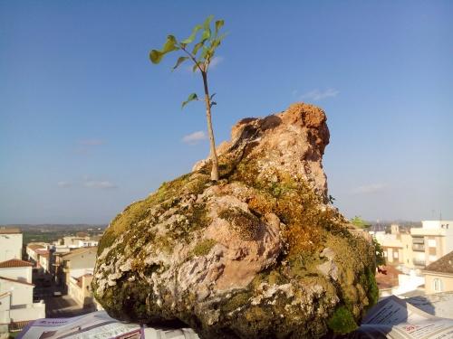 Bonsai FRESNO( fraxinus ornus). - Fernando ballester martinez