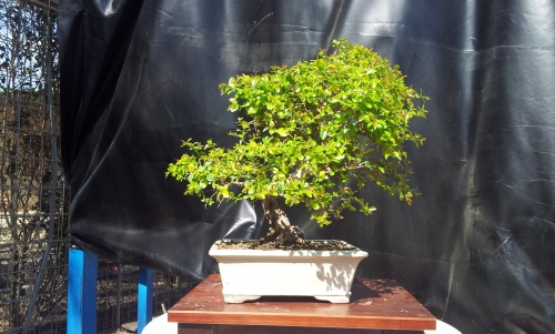 Bonsai sagerethia - javel