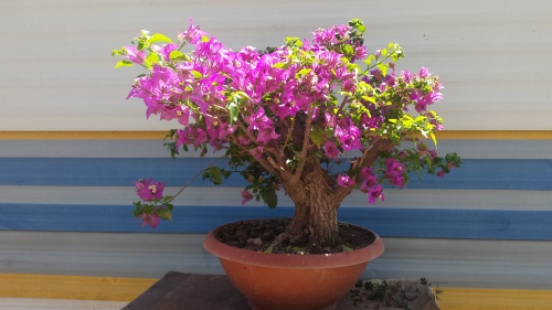 Bonsai bunganvillea - javel