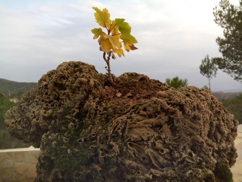 Bonsai arce ( acer opalus granatense ) - Fernando ballester martinez