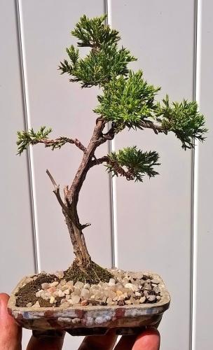 juníperus