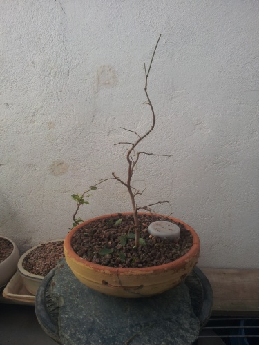 Bonsai 13537 - SARRUT