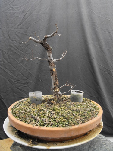 Bonsai 13601 - SARRUT
