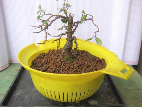 Bonsai 13657 - albert larrosa