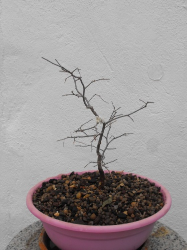 Bonsai 13733 - SARRUT