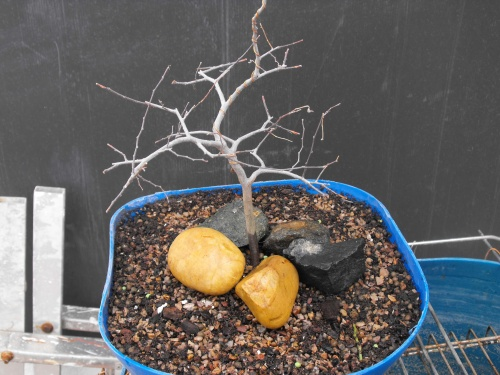 Bonsai 13741 - SARRUT