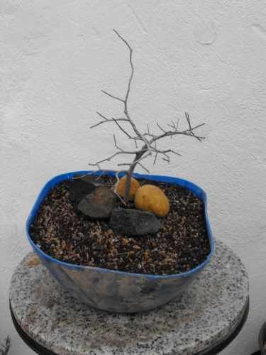 Bonsai 13745 - SARRUT