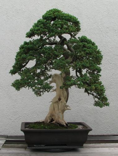 Bonsai 13821 - Jose59